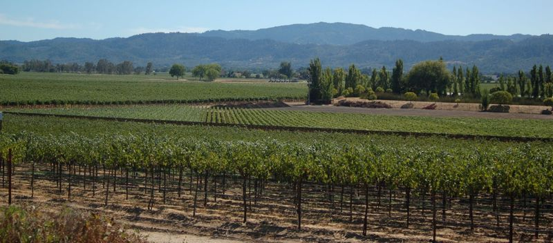 Rutherford grapevines crop